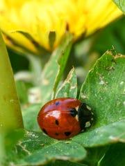 A ladybug crawls near a dandelion flower in Anderson