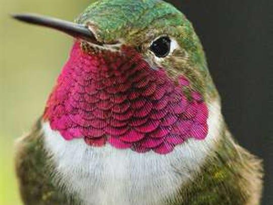 A hummingbird.