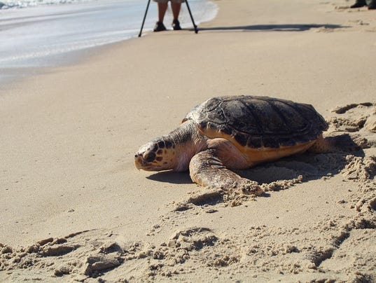 636429058796558337-Bailey-release-Sea-Turtle-Recovery.jpg