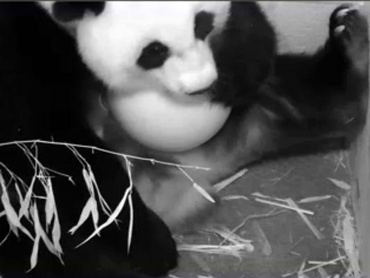 mei xiang panda