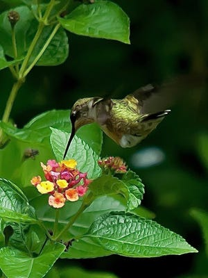 This Ruby-throated hummingbird is fattening up on Luscious Royale Cosmo lantana in mid-October.
