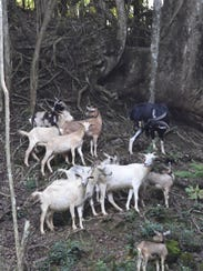 A herd of goats rests on the hillside of a Sinajana
