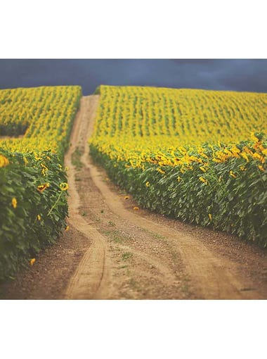 "Frederick Farms Sunflowers: ""Taken in August, off a"