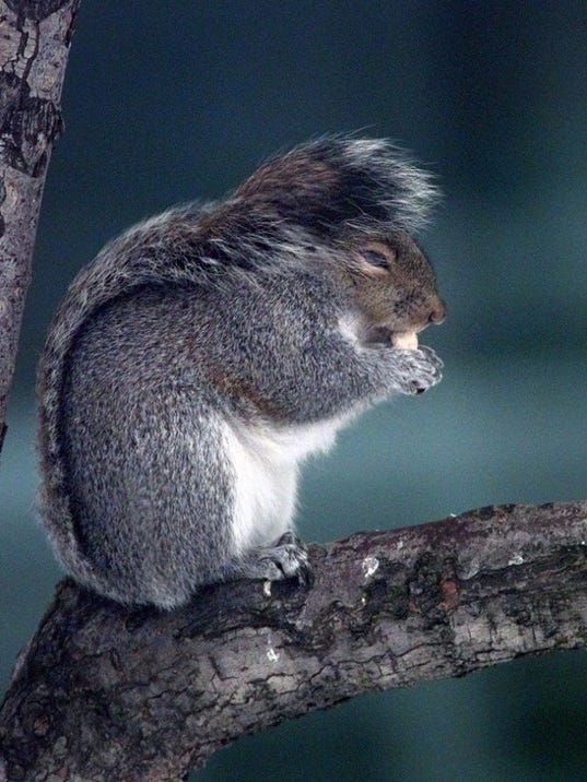 RH 111797 A Squirrel A