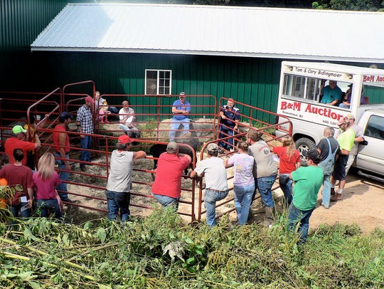 Chances are, cows sold at auction go into another herd.