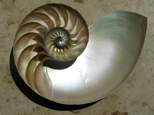 A cross-section of a chambered nautilus shell.