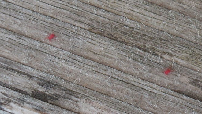 Tiny red mites scurry along a wood surface.