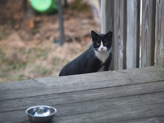 One of seven stray cats that visit the backyard of Susan Kraft, who participates in the Bergen County Trap-Neuter-Return Program, looks for food at her home in Lyndhurst on March 5, 2018. Lyndhurst has conducted this program for two years and has had success in reducing its feral cat population.