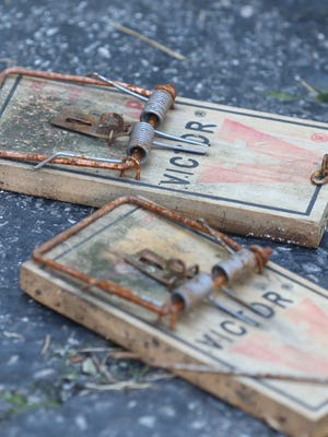 Henry Viau of Rochester puts out traps to catch the rats that eat in his driveway.