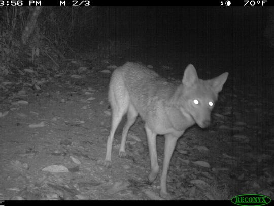 A coyote is captured by a trail camera March 1 at Sanibel's Pond Apple Park. Coyotes have been digging up sea turtle nests on Sanibel and Captiva since 2011.