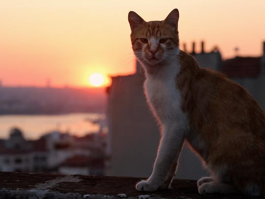 "One of the cats of ""Kedi,"" now playing at the ShowRoom Cinema in Asbury Park."