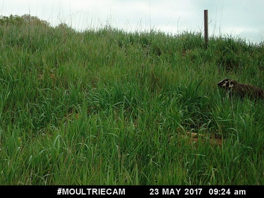 An American badger is shown on a trail camera image captured May 23, 2017 near the Cedarburg Bog in Saukville, Wis.