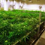 Foto tomada el 15 de septiembre del 2015 de un huerto donde se cultiva marihuana para fines médicos en Albion, Illinois.