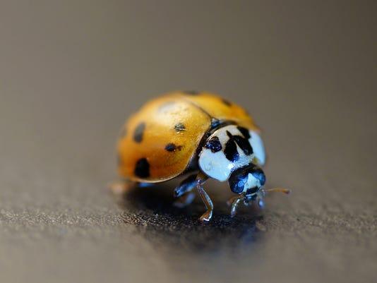 Macro of Asian Lady Beetle (Harmonia axyridis)