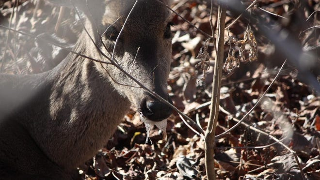 A photo of the white-tailed deer that was CWD positive in Ponca. The deer was found dead about three days after it was first sighted