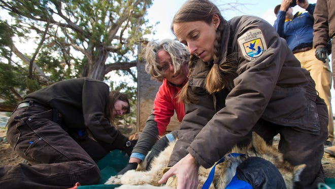 U.S. Fish and Wildlife Service biologist Colby Gardner (right) holds a female Mexican gray wolf while veterinarian Susan Dicks takes her temperature after capturing her from a holding pen at the Sevilletta National Wildlife Refuge near Socorro, N.M. in  2013.
