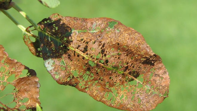 Japanese beetles are voracious defoliators of many landscape plants and crops.