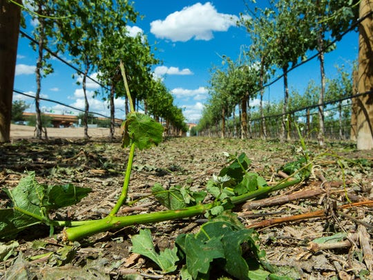 A grape vine lays on the ground on Thursday, May 19, 2016, after it was ripped off during Wednesday's hail storm at  the NMSU's Fabian Garcia Science Center. NMSU project coordinator for the vita culture program estimated about 30-percent of the fruit was lost due to the storm.