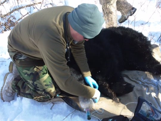 Justin Schlanser of the U.S. Army's veterinary corps with a bear in northern Michigan.