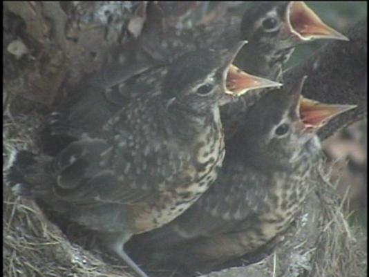 636293416504576468-Robins--Babies-eating-2.png