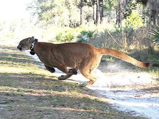 Florida panther No. 232 ranged 800 miles in five months