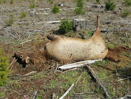 An elk was killed illegally and left to waste near