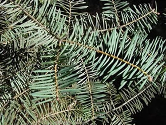 The white fir has good needle retention and a pleasant aroma. It has very small, narrow needles.