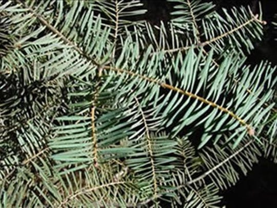 White Fir - Also known as the concolor fir, this variety has good needle retention and a pleasant aroma. It has very small, narrow needles.