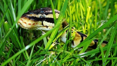 A snake lurks in the grass in this file photo.