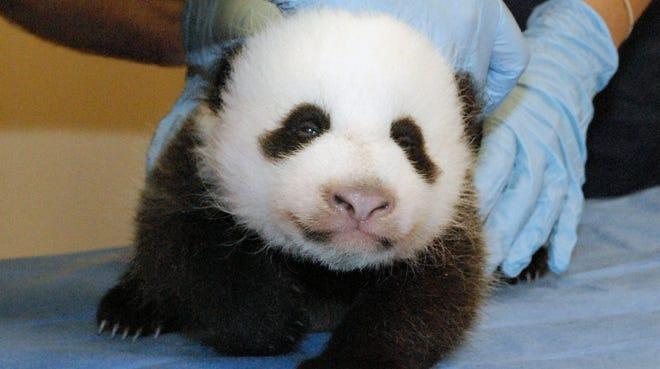 The female panda cub at Washington's National Zoo undergoes an exam  Oct. 11.