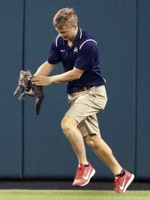 A member of the Busch Stadium grounds crew removes a cat that had run onto the field during the sixth inning of a baseball game between the St. Louis Cardinals and the Kansas City Royals on Wednesday, Aug. 9, 2017, in St. Louis.