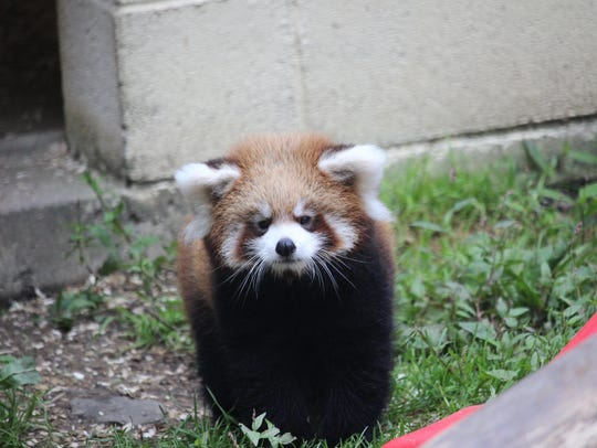 See red panda cub Rowan and other cute critters at