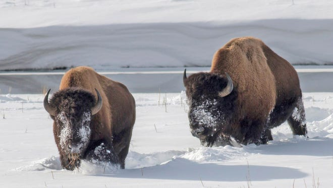 Yellowstone bison forage for grass in the snow near an icy Madison River in Febuary 2014.