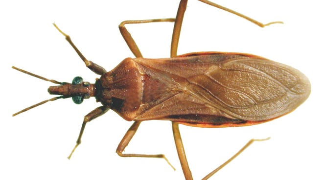 """T. Rubida, also known as a """"kissing bug,"""" is an Arizona pest that can spread disease and cause allergic reactions through its bite."""