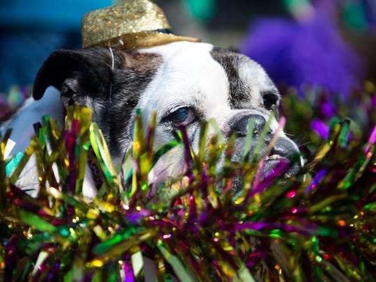 Bugsy, owned by Scott Jones of Knoxville, sits in a wagon during the Young-Williams Animal Center's 10th annual Mardi Growl pet parade in 2017.