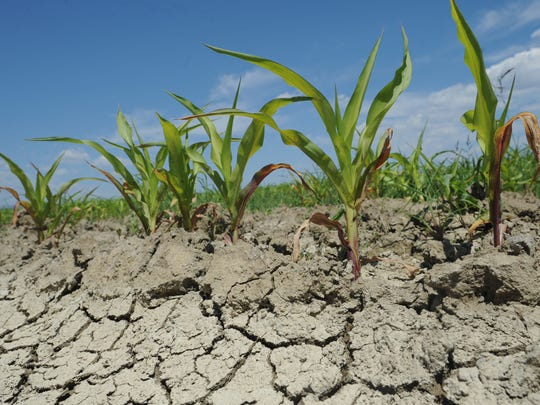 This July 2012 file photo shows a corn field near Wellington during a period of extreme drought for Northern Colorado. A slim portion of the region is now in a moderate drought.