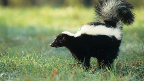 Fifteen rabid skunks were detected in South Dakota in 2015.