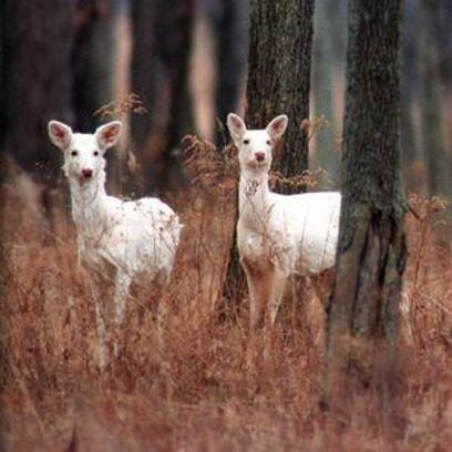 White deer at the former Seneca Army Depot in Romulus.