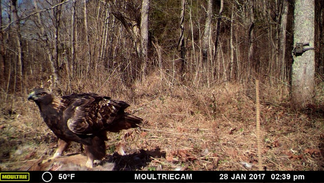 """""""Harper Bernheim,"""" a golden eagle, has returned to the research forest just south of Louisville for at least the third straight winter."""