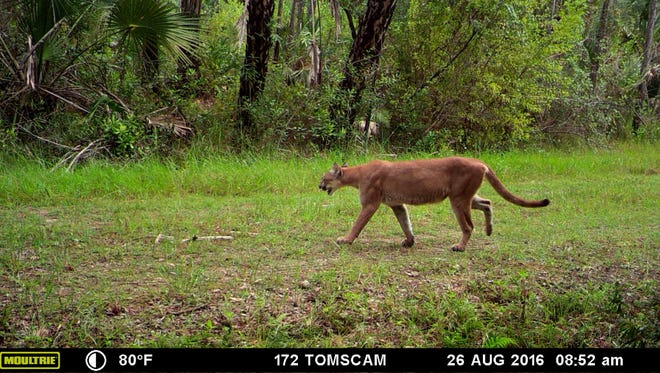 A panther walks along a trail on lands managed by CREW Land & Water Trust.