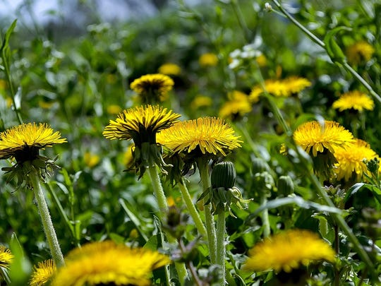 The dandelion is one of the most prolific seed-producing weeds.