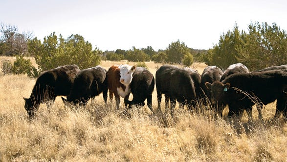 Cattle graze at NMSU Corona Range and Livestock Research Center.