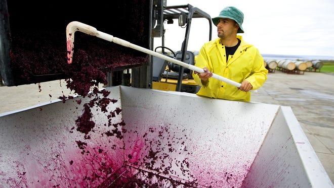 Colin Grant (Trumansburg, NY) raking grapes during harvest season at Lamoreaux Landing Wine Cellars on October 27, 2007. (Democrat and Chronicle staff photo by Katharine Sidelnik 102707)