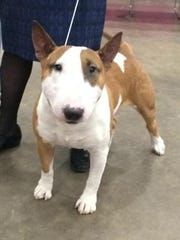 Clint, a Colored Bull Terrier from Texas, is ready for his event at the Magnolia Classic Dog Show on Sunday.