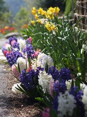 Hyacinths adorn the walkway at Bibler Gardens.