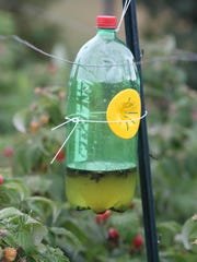 Traps using apple juice as an attractant can catch