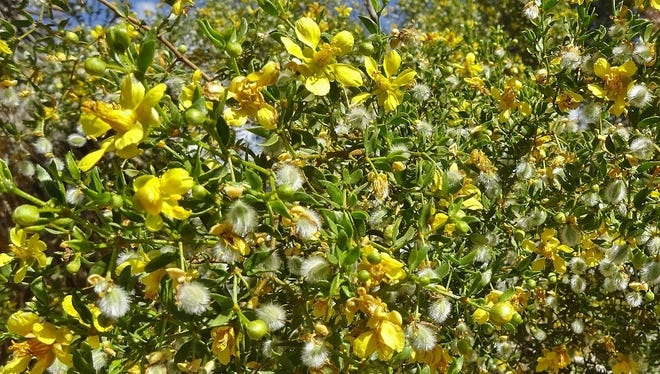 The creosote bush is responsible for that aroma you smell right before it rains in the desert.