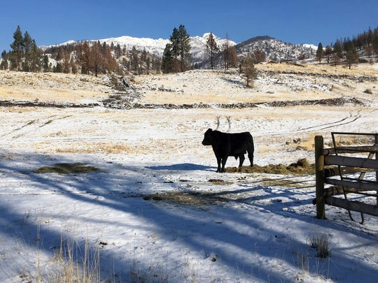 A cow stands on a ranch outside the Malheur National