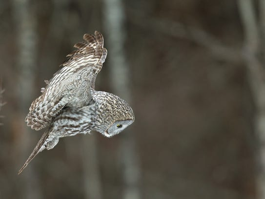 A great gray owl locks on to movement and sounds beneath the snow before plummeting talons first. Being such a large owl, the great gray can eat up to seven vole-sized rodents every day.
