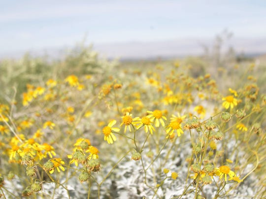 Brittlebush is the most abundant wildflower at the Santa Rosa and San Jacinto Mountains National Monument Visitor Center. These flowers were photographed on March 2, 2016.
